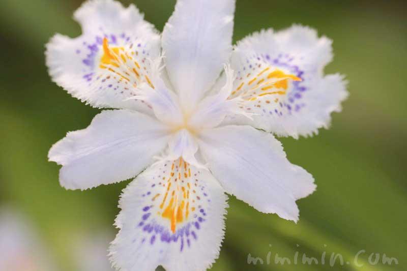 シャガの花の写真・花言葉の画像