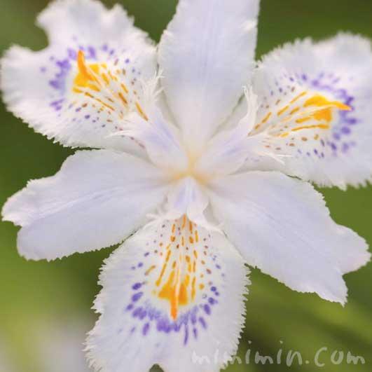 著莪の写真・花言葉の画像
