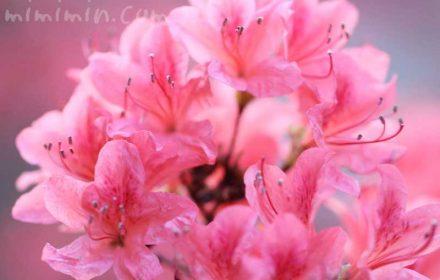 山躑躅の花の画像