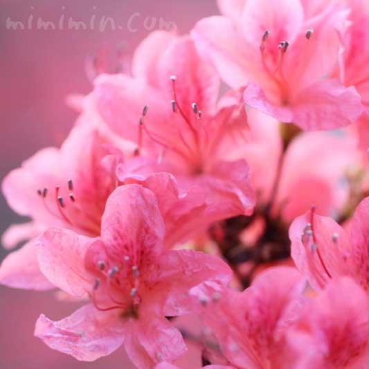 ヤマツツジの花の写真