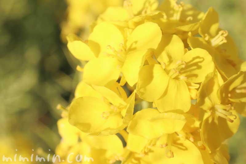 菜の花|浜離宮