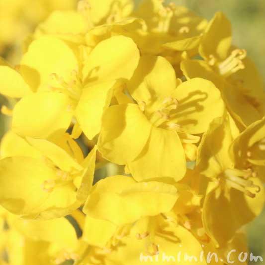菜の花の写真 花言葉 誕生花(浜離宮恩賜庭園)