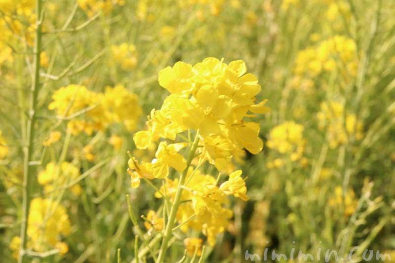 菜の花(浜離宮)の画像
