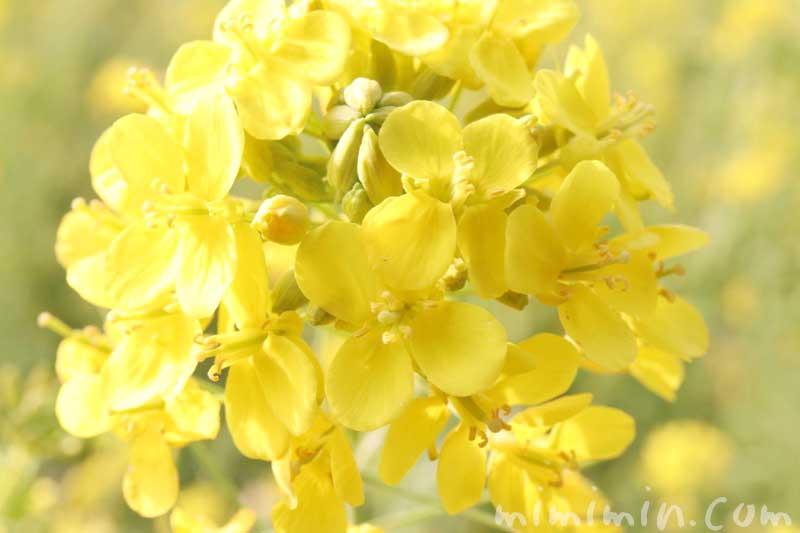 菜の花|浜離宮恩賜庭園の画像