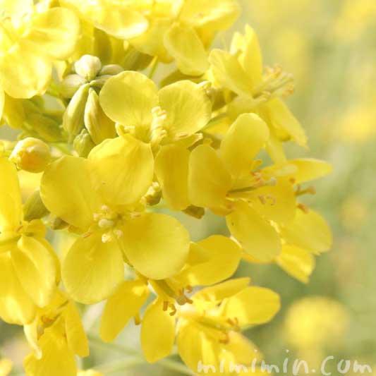 菜の花の写真と花言葉と誕生花(浜離宮恩賜庭園)の画像