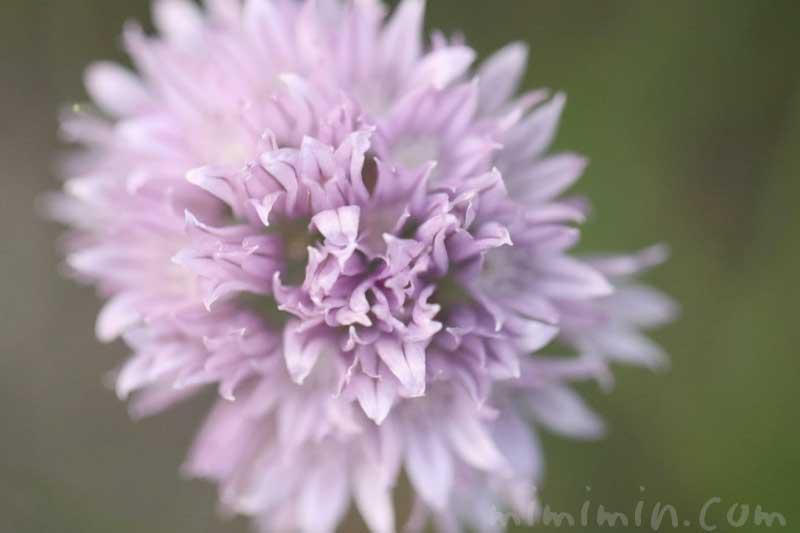 西洋浅葱の花の写真