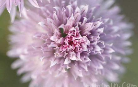 セイヨウアサツキの花の写真