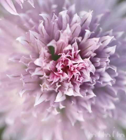 チャイブの花の写真・花言葉