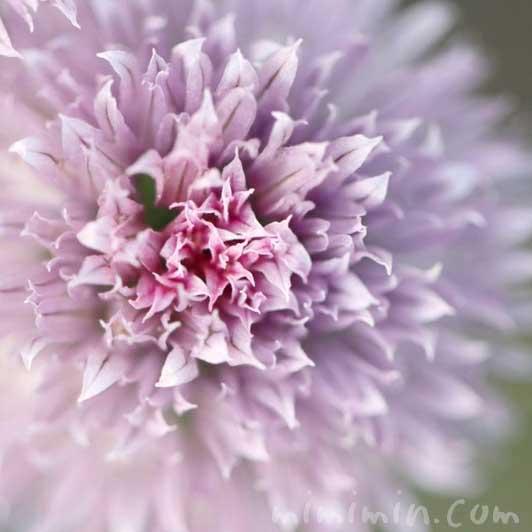 チャイブの花の写真2の画像