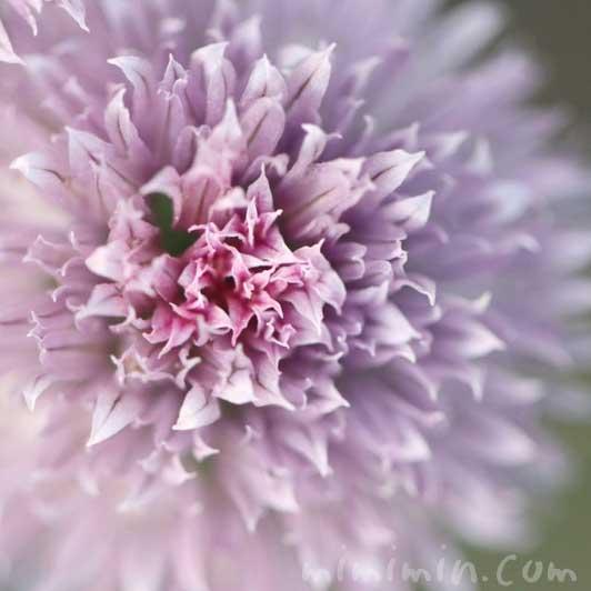 チャイブの花の写真