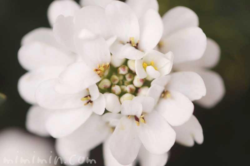 イベリスの写真と花言葉 名前の由来