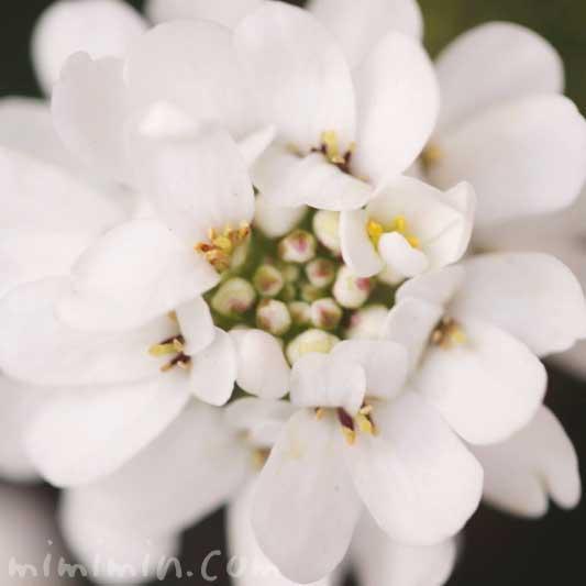 イベリスの写真と花言葉と名前の由来の画像