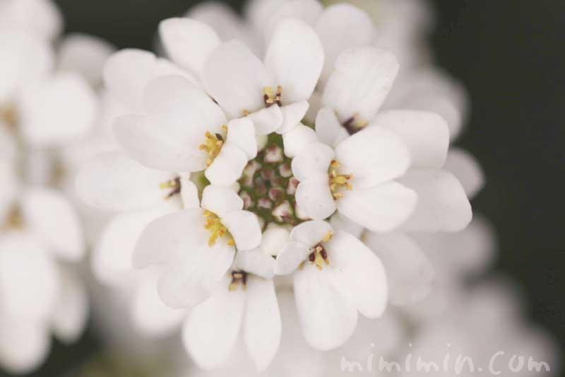 イベリスの花の写真と花言葉 名前の由来