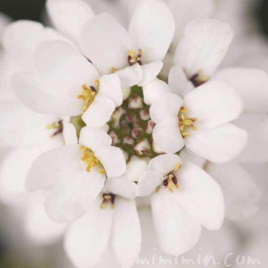 イベリスの花の写真と花言葉と名前の由来の画像