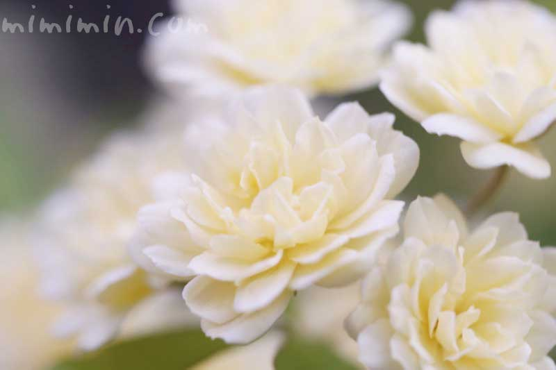 モッコウバラの写真と花言葉と誕生花の画像