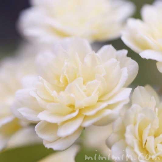 木香薔薇の写真 花言葉 誕生花の画像
