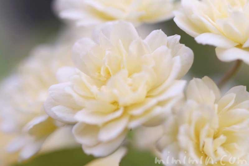 モッコウバラの花の写真と花言葉と誕生花
