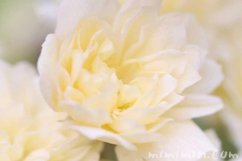 モッコウバラの花の写真 花言葉 誕生花の画像