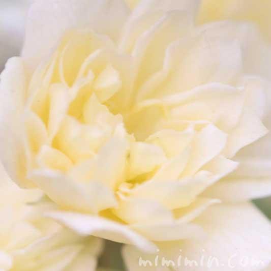モッコウバラの写真 花言葉 誕生花