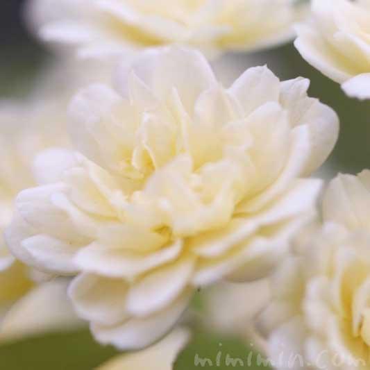 木香薔薇の花の写真 花言葉 誕生花の画像
