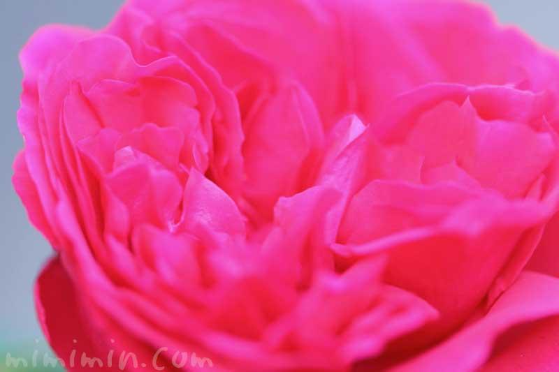 濃いピンクのバラの写真と花言葉と名前の由来
