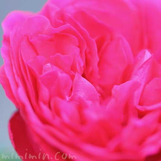 濃いピンクのバラの花の写真と花言葉と名前の由来