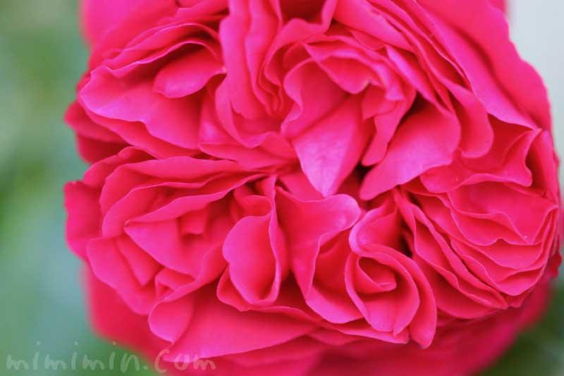 濃いピンクのバラの写真・花言葉・名前の由来の画像