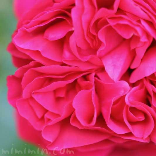 濃いピンクのバラの花の写真と花言葉と名前の由来の画像