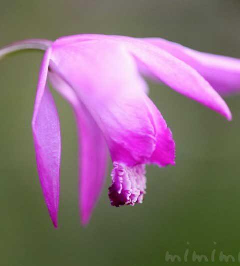 シラン(紫蘭)の花の写真・花言葉・名前の由来