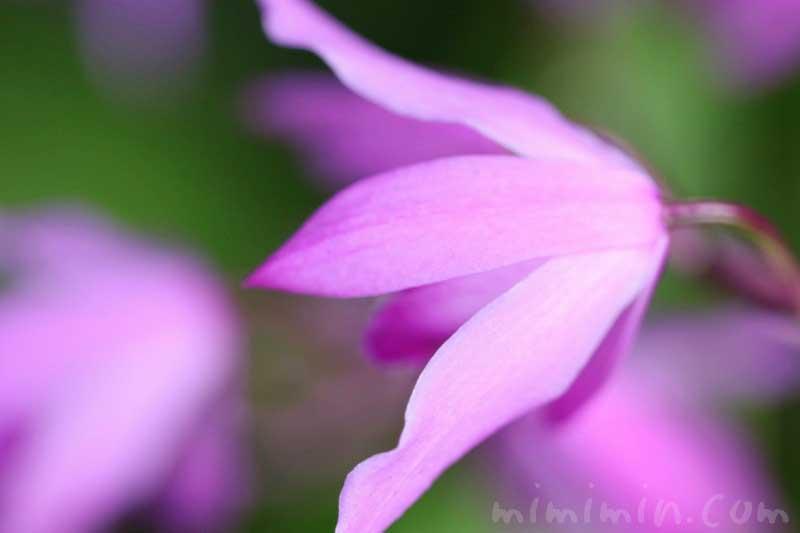 紫蘭の写真 花言葉 誕生花