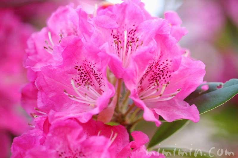 シャクナゲ(ピンク)の画像