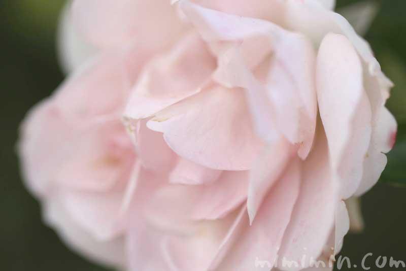 ピンクのバラの写真と色別の花言葉