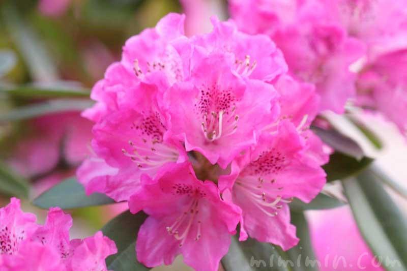 石南花の画像