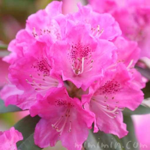 シャクナゲの花の写真