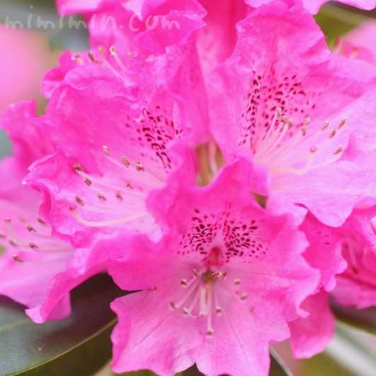 石楠花(ピンク)の画像