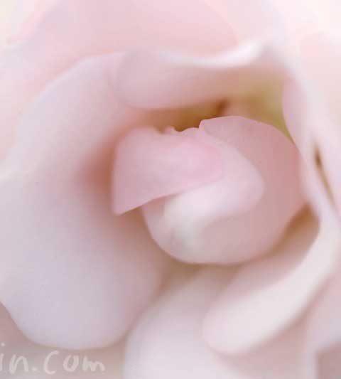 バラの花言葉(色別の花言葉)・バラの写真