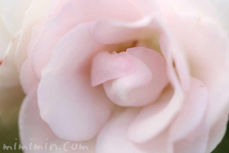 バラの写真と色別の花言葉のガズ