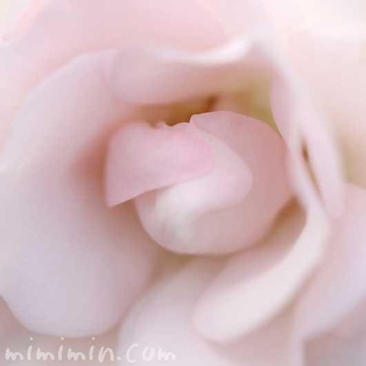 バラの写真と花言葉(色別の花言葉)の画像