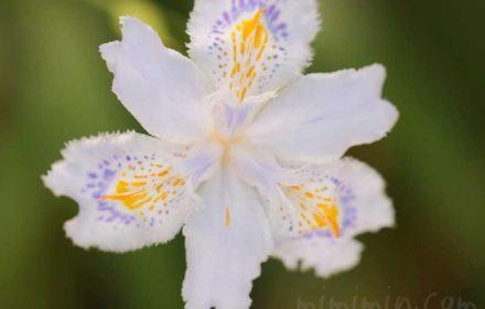 シャガの花の写真・花言葉・誕生花の画像