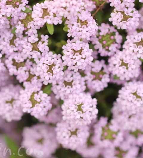 クリーピングタイムの花の写真・タイムの花言葉