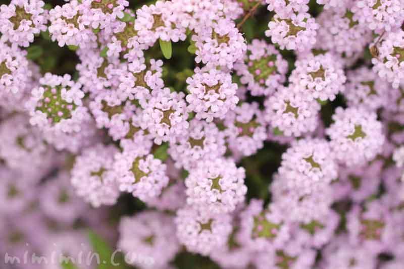クリーピングタイムの花の写真