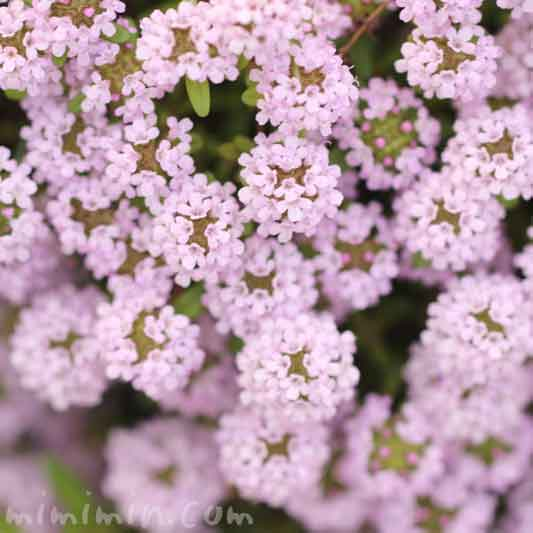 ワイルドタイムの花の写真