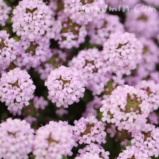 クリーピングタイムの花