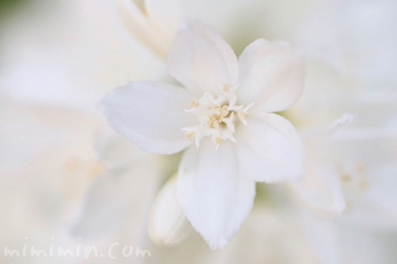 姫卯木の花の写真