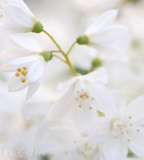 ヒメウツギの花の写真・花言葉