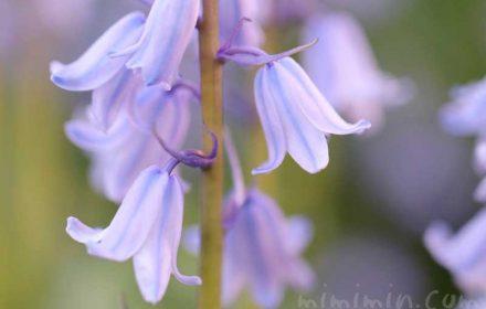 ツリガネズイセンの花の写真