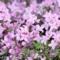 ボロニアの花の写真