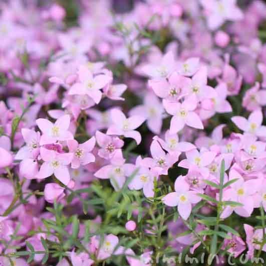 ボロニアピンナタの花の画像