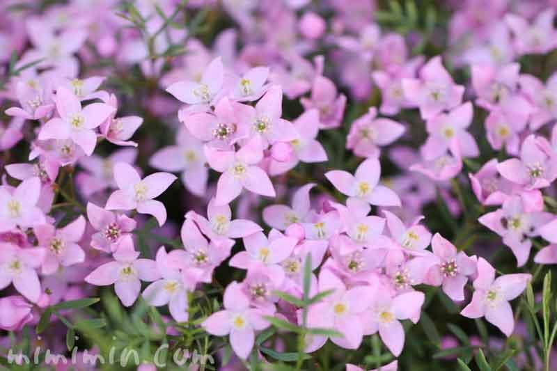 ボロニアピナータの花の写真