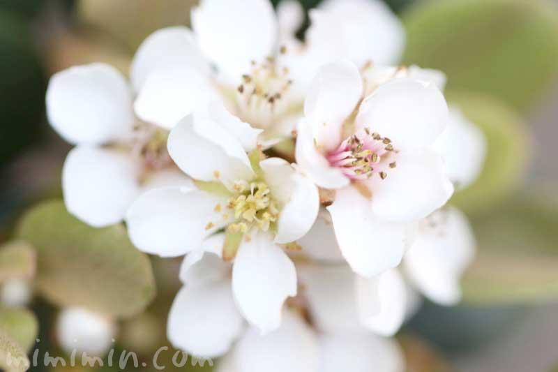 シャリンバイの花の写真